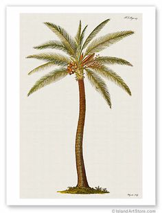 Coconut Palm Tree (Cocos nucifera) - from Griffith Hughes Century The Natural History of Barbados - Vintage Botanical Illustration by James Mynde - Hawaiian Master Art Print - 12 x Palm Tree Drawing, Palm Tree Art, Palm Trees, Tree Drawings, Illustration Jungle, Botanical Illustration, Coconut Palm Tree, Hawaiian Art, Vintage Hawaiian