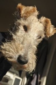 J.C. Middlebrook Lace production supervisor Jack the Wire Fox Terrier