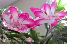 Holiday Cactus Care: How To Grow Thanksgiving and Christmas Cactus Pink and white Thanksgiving cactus flowers Cactus Planta, Cactus Y Suculentas, Indoor Cactus, Indoor Plants, Air Plants, Potted Plants, Cactus Flower, Flower Pots, Easter Cactus