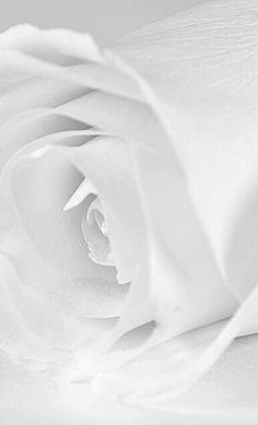 """silver-blonde: """" White Rose (by Erin Claassen Photography) """" All White, Pure White, White Light, Snow White, Blanco White, Silver Blonde, White Aesthetic, Angel Aesthetic, Aesthetic Pics"""