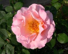Rose Belle Story I am for the assimilation of spiritual experience. I am the essence that one takes to synthesize these experiences into deep-rooted change.