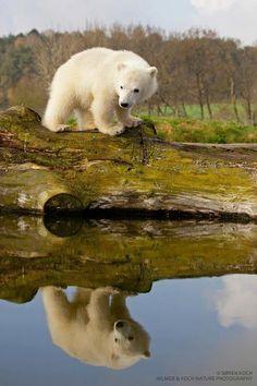 <3 Polar Bear Cub Mais #polarbears Visit our page here: http://what-do-animals-eat.com/polar-bears/