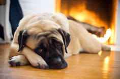"The breed is commonly referred to as the ""Mastiff"". Also known as the English Mastiff this giant dog breed gets known for its splendid, good natu Mastiff Puppies For Sale, English Mastiff Puppies, Dogs And Puppies, English Mastiffs, Mastiff Breeds, Mastiff Dogs, Giant Dog Breeds, Giant Dogs, Funny Dogs"