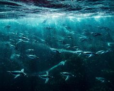 """""""Photograph by @paulnicklen for @natgeo // With bellies full of krill, Gentoo penguins race towards the shore as they prepare to leap from the sea and walk…"""""""