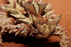 Image result for thorny devil