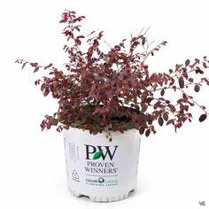 Fringe Flower Jazz Hands Mini&#174 — Green Acres Nursery & Supply