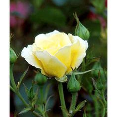 Yellow Submarine..Add cheer to your garden with this super-easy yellow rose. The long-lasting flowers are great for cutting and appear throughout the summer.