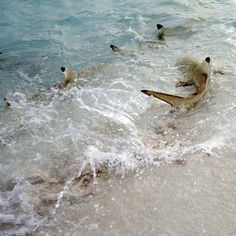 Black Tip Reef Sharks feeding in the Maldives