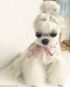 Puppy with the good hair: Meet the pup with better hair than you Meet Miho the maltese pup that's making waves on social media for her silky white hair. The puppy from Seoul models different clothes and accessories for a store named Moelleux. Dog Grooming Styles, Pet Grooming, Grooming Shop, Cute Puppies, Cute Dogs, Perro Shih Tzu, Dog Haircuts, Dog Hairstyles, Photo Chat