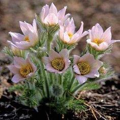 PULSATILLA vulgaris Pearl Bells : Beautiful soft pink large nodding flowers. New introduction. Flowers March-April. HEIGHT 30cm SPREAD 30cm