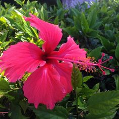 #Picoftheday #flowers #hawaii #paradise #Prints and Merchandise at http://rdbl.co/1KpAdI1