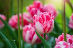 Extraordinary pink and white tulips, Holland Katka Pruskova Photography | www.pruskova.com