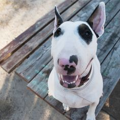 English Bull Terriers are strong, playful and energetic dogs that love to play and run around.