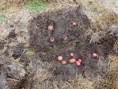 Growing potatoes in straw bales is easy! Potato storage tip: wrap in brown paper