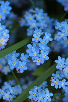 "boschintegral-photo: ""Forget-me-nots """