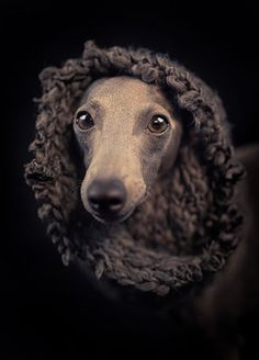 italian greyhound - stock photo