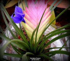 Meu cantinho verde: TILÂNDSIA-AZUL - ( Tillandsia cyanea )
