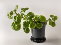 It can be hard to balance a love of houseplants and what's safe for your pets. Never fear, our list of houseplants safe for cats and dogs should help. Leafy Plants, Ivy Plants, Bamboo Plants, Cactus Plants, Multiplication, English Ivy Plant, Houseplants Safe For Cats, Christmas Cactus Plant, Lipstick Plant