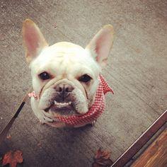 """""""Whatchu lookin at?"""" Adorable but Grumpy French Bulldog."""