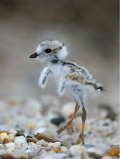 This newly hatched, tiny baby sandpiper is so fragile & precious.