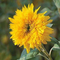 Sonnenblume 'Hohe Sonnengold'
