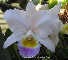 Cattleya Trianae Coerulea