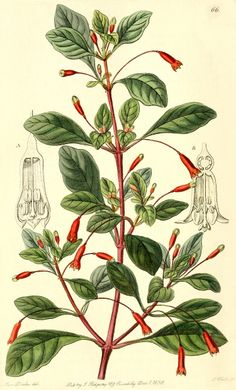 Fuchsia Magellanica (Onagraceae) Illustration