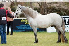 Connemara - stallion Tulira Daróg