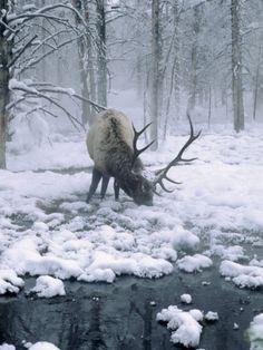 Elk-Bull Grazing in Winter, WY by Inga Spence