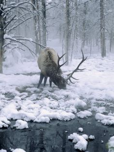 elk in the snow