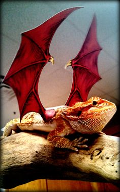 Our beardie looks fierce is his Halloween costume, but he's totally lovable. You can find out more about Izod on our blog - http://www.critterzoneusa.com/pages/blog #izod #critterzoneusa #critterzone #costume #beardeddragon #beardie