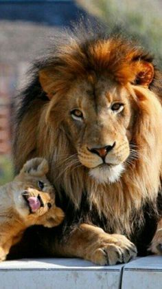 Image IMG 8458 in Wild cats album Lion Love, Cat Love, Cute Baby Animals, Animals And Pets, Beautiful Creatures, Animals Beautiful, Big Cats, Cute Cats, Mon Zoo
