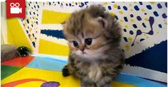 Cute Persian Kittens to Melt Your Heart