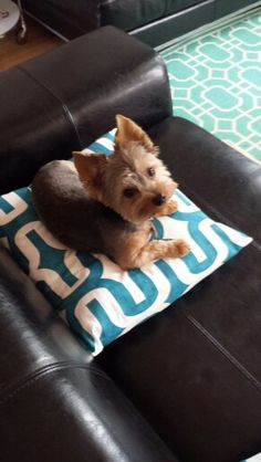 I love this haircut on this Yorkie