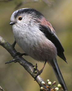 Long-tailed Tit - The long-tailed tit or long-tailed bushtit is a common bird found throughout Europe and Asia.