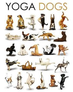 Cute dogs doing yoga! :)   ...........click here to find out more     http://googydog.com
