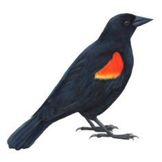 17 BIRDS - a new series where I paint one bird everyday. Day 1: Red-winged Blackbird.