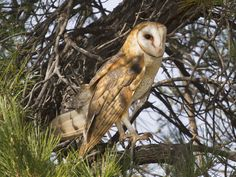 Barn_Owl_Tyto_alba_Carrizo_3.jpg (1024×768)