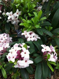 Daphne Eternal Fragrance® - petit dev floraison mai octobre