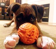 Someone please play ball with me! #boxer