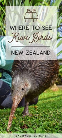 See a real life kiwi! Considering kiwis are New Zealand's national icon, you would think they are be everywhere. They're not. Kiwi birds are not only an endangered species but nocturnal so chances of just bumping into one is very slim. However, because Kiwis love kiwis, there are plenty of conservation projects set up to protect these native flightless birds. Additionally, there are sanctuaries and zoos to see a real life kiwi. So where can you see kiwi birds in New Zealand?