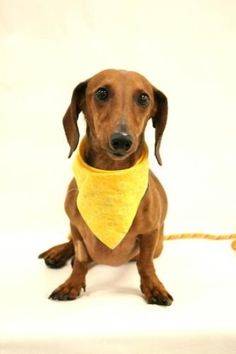 Tuesday's Tails: Featuring Pretzel – An Adoptable #Dachshund by thelma