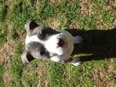 Abraham pitbull puppy <3