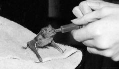 Baby Bat being fed