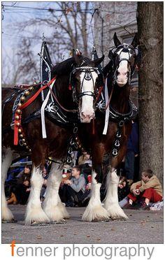 Big Horses, Work Horses, White Horses, Horse Love, Show Horses, All The Pretty Horses, Beautiful Horses, Clydesdale Horses, Cowboy Horse