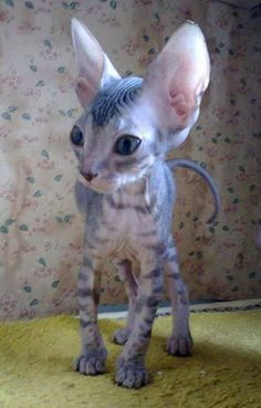 SPHYNX [chat] pixels How so alien looking these cats are! This one looks sweet, long and lean. Animals And Pets, Baby Animals, Funny Animals, Cute Animals, Funny Cats, Pretty Cats, Beautiful Cats, Animals Beautiful, I Love Cats
