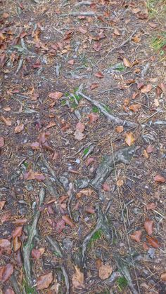 korenine(roots) v gozdu(in the wood)