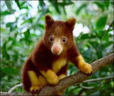 The golden-mantled tree kangaroo was discovered in December 2005 by a team of Indonesian, Australian, and U.S. scientists, in the Foya Mountains, in the Papua proivince. Currently, ten species are recognized in the group, nearly all of which are threatened by habitat loss or hunting. The golden-mantled tree kangaroo is considered as one of the most endangered of all tree-kangaroos, being extinct in most of its original range.