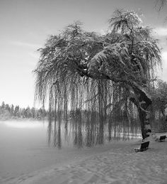 Weeping Willow Winterscape | Flickr - Photo Sharing!