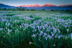 Galen Rowell, Wild Iris at Dawn